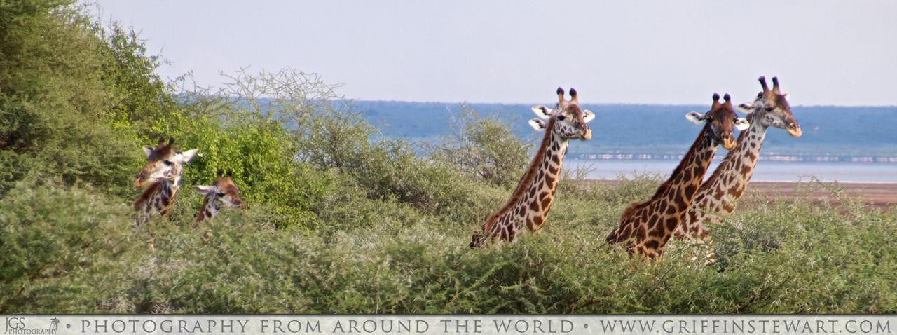 The Five Giraffes