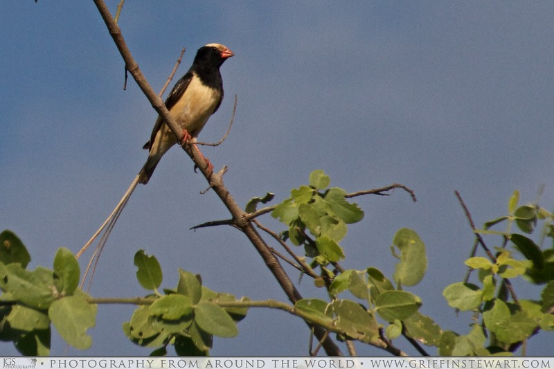 The Straw-tailed Whydah