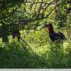 The Southern Ground Hornbill