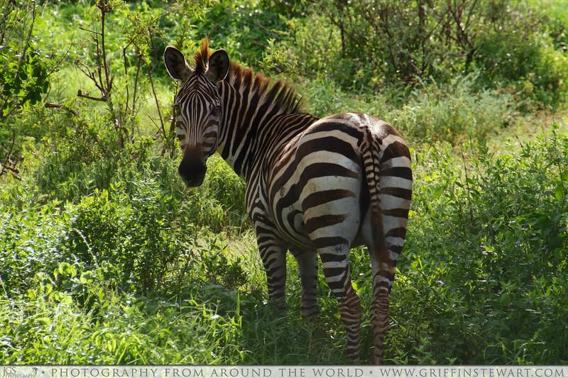 Zebra Symetry
