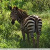 Zebra Symetry