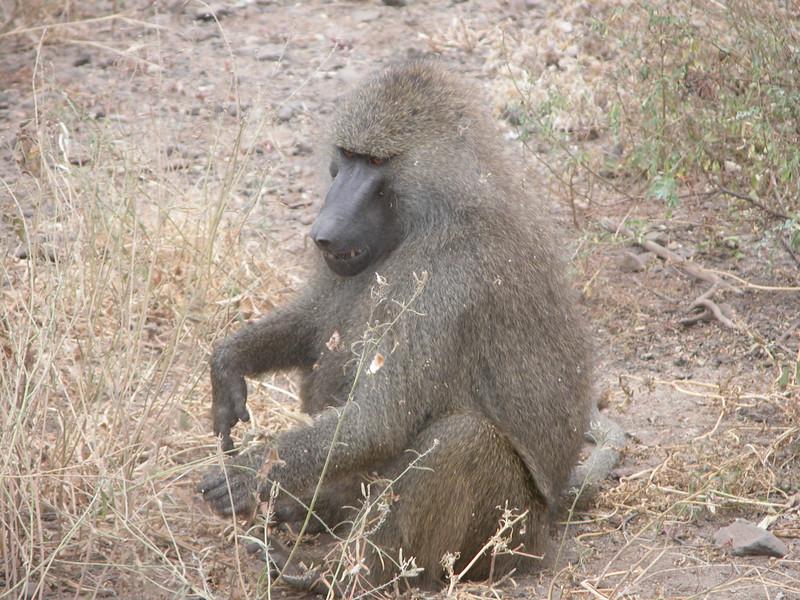 Baboon in Lake Manyara