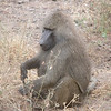 Baboon in Lake Manyara