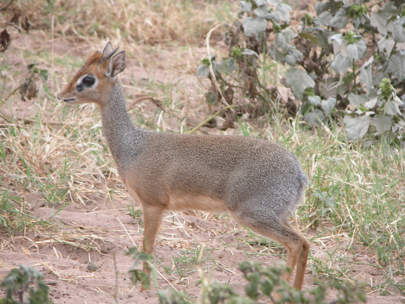 Dik Dik in Lake Manyara