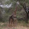 Giraffe in Lake Manyara