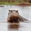 "<a target=""NEWWIN"" href=""http://en.wikipedia.org/wiki/Hippo"">Hippopotamus (<i>Hippopotamus amphibius</i>)</a>, <a target=""NEWWIN"" href=""http://en.wikipedia.org/wiki/Lake_Manyara"">Lake Manyara</a>, Tanzania"