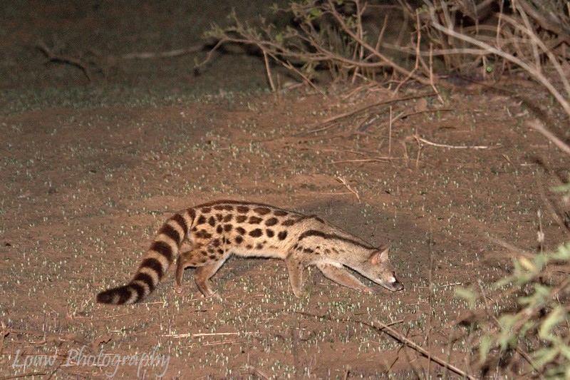 "<a target=""NEWWIN"" href=""http://en.wikipedia.org/wiki/Large_Spotted_Genet"">Large-spotted Genet Cat (<i>Genetta tigrina</i>)</a> at night, <a target=""NEWWIN"" href=""http://en.wikipedia.org/wiki/Lake_Manyara"">Lake Manyara</a>, Tanzania"