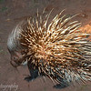 "<a target=""NEWWIN"" href=""http://en.wikipedia.org/wiki/Crested_Porcupine"">Crested Porcupine (<i>Hystrix cristata</i>)</a> at night, <a target=""NEWWIN"" href=""http://en.wikipedia.org/wiki/Lake_Manyara"">Lake Manyara</a>, Tanzania"