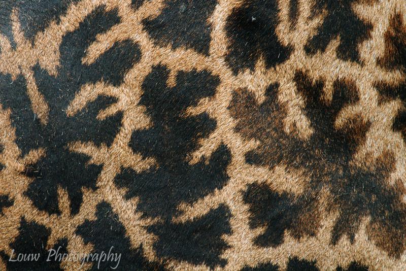 """<a target=""""NEWWIN"""" href=""""http://en.wikipedia.org/wiki/Giraffe"""">Giraffe (<i>Giraffa camelopardalis</i>)</a> pattern, <a target=""""NEWWIN"""" href=""""http://en.wikipedia.org/wiki/Lake_Manyara"""">Lake Manyara</a>, Tanzania"""