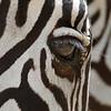 "<a target=""NEWWIN"" href=""http://en.wikipedia.org/wiki/Plains_Zebra"">Common Zebra (<i>Equus quagga</i>)</a>, <a target=""NEWWIN"" href=""http://en.wikipedia.org/wiki/Lake_Manyara"">Lake Manyara</a>, Tanzania"