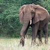 "<a target=""NEWWIN"" href=""http://en.wikipedia.org/wiki/African_Bush_Elephant"">African Bush Elephant (<i>Loxodonta africana</i>)</a>, <a target=""NEWWIN"" href=""http://en.wikipedia.org/wiki/Lake_Manyara"">Lake Manyara</a>, Tanzania"