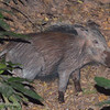 "<a target=""NEWWIN"" href=""http://en.wikipedia.org/wiki/Bushpig"">Bushpig (<i>Potamochoerus larvatus</i>)</a> at night, <a target=""NEWWIN"" href=""http://en.wikipedia.org/wiki/Lake_Manyara"">Lake Manyara</a>, Tanzania"