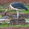 "<a target=""NEWWIN"" href=""http://en.wikipedia.org/wiki/Marabou_Stork"">Marabou Stork (<i>Leptoptilos crumeniferus</i>)</a> eating a frog, <a target=""NEWWIN"" href=""http://en.wikipedia.org/wiki/Lake_Manyara"">Lake Manyara</a>, Tanzania"