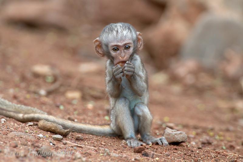 """Juvenile Black-Faced Vervet Monkey (<i>Cercopithecus aethiops</i>), <a target=""""NEWWIN"""" href=""""http://en.wikipedia.org/wiki/Lake_Manyara"""">Lake Manyara</a>, Tanzania"""