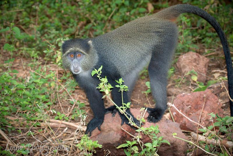"""<a target=""""NEWWIN"""" href=""""http://en.wikipedia.org/wiki/Blue_monkey"""">Blue Monkey (<i>Cercopithecus mitis</i>)</a>, <a target=""""NEWWIN"""" href=""""http://en.wikipedia.org/wiki/Lake_Manyara"""">Lake Manyara</a>, Tanzania"""