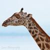 """<a target=""""NEWWIN"""" href=""""http://en.wikipedia.org/wiki/Giraffe"""">Giraffe (<i>Giraffa camelopardalis</i>)</a> with a <a target=""""NEWWIN"""" href=""""http://en.wikipedia.org/wiki/Red-billed_Oxpecker"""">Red-billed Oxpecker (<i>Buphagus erythrorhynchus</i>)</a> sun shade, <a target=""""NEWWIN"""" href=""""http://en.wikipedia.org/wiki/Lake_Manyara"""">Lake Manyara</a>, Tanzania"""