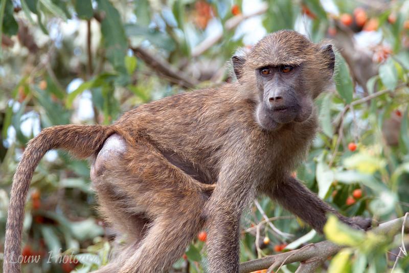 "<a target=""NEWWIN"" href=""http://en.wikipedia.org/wiki/Baboon"">Baboon (<i>Papio cynocephalus</i>)</a> feeding in fruit tree, <a target=""NEWWIN"" href=""http://en.wikipedia.org/wiki/Lake_Manyara"">Lake Manyara</a>, Tanzania"
