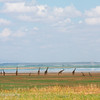 A dozen Giraffes (Giraffa camelopardalis) relaxing by the lake, Lake Manyara, Tanzania