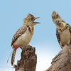 "Male and Female <a target=""NEWWIN"" href=""http://en.wikipedia.org/wiki/Red-and-yellow_Barbet"">Red-and-yellow Barbets (<i>Trachyphonus erythrocephalus</i>)</a>, <a target=""NEWWIN"" href=""http://en.wikipedia.org/wiki/Lake_Manyara"">Lake Manyara</a>, Tanzania"