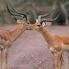 "Male <a target=""NEWWIN"" href=""http://en.wikipedia.org/wiki/Impala"">Impalas (<i>Aepyceros melampus</i>)</a>, <a target=""NEWWIN"" href=""http://en.wikipedia.org/wiki/Lake_Manyara"">Lake Manyara</a>, Tanzania"