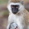 "Mother and Baby Black-Faced Vervet Monkeys (<i>Cercopithecus aethiops</i>), <a target=""NEWWIN"" href=""http://en.wikipedia.org/wiki/Lake_Manyara"">Lake Manyara</a>, Tanzania"