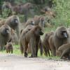 "<a target=""NEWWIN"" href=""http://en.wikipedia.org/wiki/Baboon"">Baboon (<i>Papio cynocephalus</i>)</a> troop, <a target=""NEWWIN"" href=""http://en.wikipedia.org/wiki/Lake_Manyara"">Lake Manyara</a>, Tanzania"