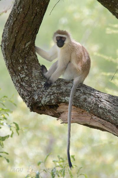 "Black-Faced Vervet Monkey (<i>Cercopithecus aethiops</i>), <a target=""NEWWIN"" href=""http://en.wikipedia.org/wiki/Lake_Manyara"">Lake Manyara</a>, Tanzania"