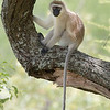 Black-Faced Vervet Monkey (Cercopithecus aethiops), Lake Manyara, Tanzania