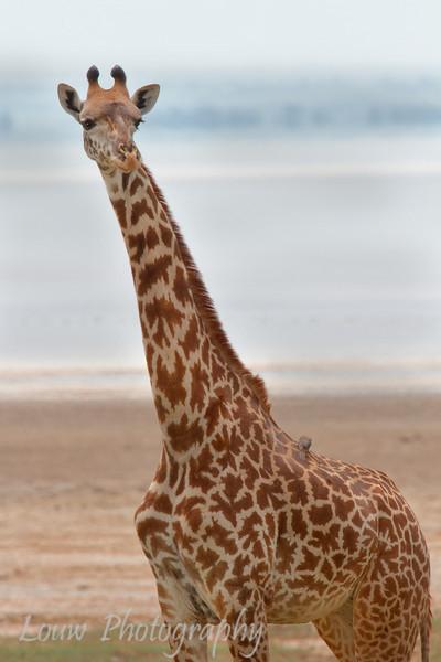 """<a target=""""NEWWIN"""" href=""""http://en.wikipedia.org/wiki/Giraffe"""">Giraffe (<i>Giraffa camelopardalis</i>)</a>, <a target=""""NEWWIN"""" href=""""http://en.wikipedia.org/wiki/Lake_Manyara"""">Lake Manyara</a>, Tanzania"""