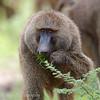 """<a target=""""NEWWIN"""" href=""""http://en.wikipedia.org/wiki/Baboon"""">Baboon (<i>Papio cynocephalus</i>)</a>, <a target=""""NEWWIN"""" href=""""http://en.wikipedia.org/wiki/Lake_Manyara"""">Lake Manyara</a>, Tanzania"""
