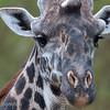 """Male <a target=""""NEWWIN"""" href=""""http://en.wikipedia.org/wiki/Giraffe"""">Giraffe (<i>Giraffa camelopardalis</i>)</a>, <a target=""""NEWWIN"""" href=""""http://en.wikipedia.org/wiki/Lake_Manyara"""">Lake Manyara</a>, Tanzania"""