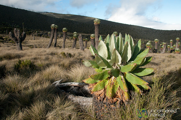Forest of Dendrosenecio Kilimanjari - Mt. Kilimanjaro, Tanzania