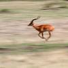 "Male <a target=""NEWWIN"" href=""http://en.wikipedia.org/wiki/Impala"">Impala (<i>Aepyceros melampus</i>)</a> running, <a target=""NEWWIN"" href=""http://en.wikipedia.org/wiki/Serengeti"">Serengeti</a>, Tanzania"