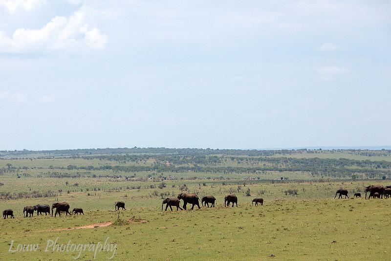 "<a target=""NEWWIN"" href=""http://en.wikipedia.org/wiki/African_Bush_Elephant"">African Bush Elephants (<i>Loxodonta africana</i>)</a>, <a target=""NEWWIN"" href=""http://en.wikipedia.org/wiki/Serengeti"">Serengeti</a>, Tanzania"