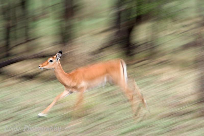 "Female <a target=""NEWWIN"" href=""http://en.wikipedia.org/wiki/Impala"">Impala (<i>Aepyceros melampus</i>)</a> in motion, <a target=""NEWWIN"" href=""http://en.wikipedia.org/wiki/Serengeti"">Serengeti</a>, Tanzania"