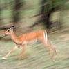 "Female <a target=""NEWWIN"" href=""http://en.wikipedia.org/wiki/Impala"">Impala (<i>Aepyceros melampus</i>)</a> in motion, <a target=""NEWWIN"" href=""http://en.wikipedia.org/wiki/Serengeti"">Serengeti</a>, Tanzania"