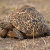 """<a target=""""NEWWIN"""" href=""""http://en.wikipedia.org/wiki/Leopard_tortoise"""">Leopard tortoise (<i>Geochelone pardalis</i>)</a>, <a target=""""NEWWIN"""" href=""""http://en.wikipedia.org/wiki/Serengeti"""">Serengeti</a>, Tanzania"""