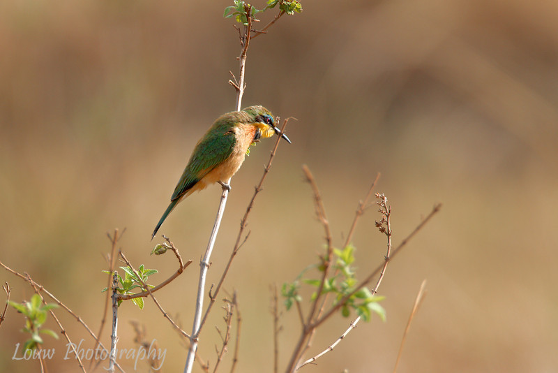 """<a target=""""NEWWIN"""" href=""""http://en.wikipedia.org/wiki/Little_Bee-eater"""">Little Bee-eater (<i>Merops pusillus</i>)</a>, <a target=""""NEWWIN"""" href=""""http://en.wikipedia.org/wiki/Serengeti"""">Serengeti</a>, Tanzania"""