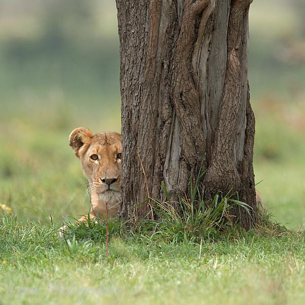 "<a target=""NEWWIN"" href=""http://en.wikipedia.org/wiki/Lion"">Lioness (<i>Panthera leo</i>)</a>, <a target=""NEWWIN"" href=""http://en.wikipedia.org/wiki/Serengeti"">Serengeti</a>, Tanzania"