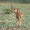 "Young <a target=""NEWWIN"" href=""http://en.wikipedia.org/wiki/Topi"">Topi (<i>Damaliscus lunatus</i>)</a>, <a target=""NEWWIN"" href=""http://en.wikipedia.org/wiki/Serengeti"">Serengeti</a>, Tanzania"