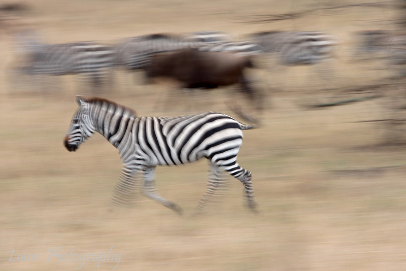 "<a target=""NEWWIN"" href=""http://en.wikipedia.org/wiki/Plains_Zebra"">Common Zebras (<i>Equus quagga</i>)</a> and <a target=""NEWWIN"" href=""http://en.wikipedia.org/wiki/Blue_Wildebeest"">Blue Wildebeest (<i>Connochaetes taurinus</i>)</a> in motion, <a target=""NEWWIN"" href=""http://en.wikipedia.org/wiki/Serengeti"">Serengeti</a>, Tanzania"