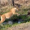 "<a target=""NEWWIN"" href=""http://en.wikipedia.org/wiki/Lion"">Lioness (<i>Panthera leo</i>)</a> jumping, <a target=""NEWWIN"" href=""http://en.wikipedia.org/wiki/Serengeti"">Serengeti</a>, Tanzania"