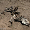Remains of a Common Zebra (Equus quagga), Serengeti, Tanzania
