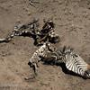 "Remains of a <a target=""NEWWIN"" href=""http://en.wikipedia.org/wiki/Plains_Zebra"">Common Zebra (<i>Equus quagga</i>)</a>, <a target=""NEWWIN"" href=""http://en.wikipedia.org/wiki/Serengeti"">Serengeti</a>, Tanzania"