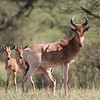 "One male and two female <a target=""NEWWIN"" href=""http://en.wikipedia.org/wiki/Topi"">Topis (<i>Damaliscus lunatus</i>)</a>, <a target=""NEWWIN"" href=""http://en.wikipedia.org/wiki/Serengeti"">Serengeti</a>, Tanzania"
