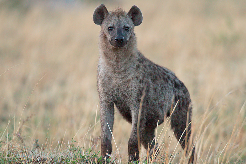 "<a target=""NEWWIN"" href=""http://en.wikipedia.org/wiki/Spotted_Hyena"">Spotted Hyena (<i>Crocuta crocuta</i>)</a>, <a target=""NEWWIN"" href=""http://en.wikipedia.org/wiki/Serengeti"">Serengeti</a>, Tanzania"