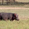 "<a target=""NEWWIN"" href=""http://en.wikipedia.org/wiki/Hippo"">Hippopotamus (<i>Hippopotamus amphibius</i>)</a> feeding, <a target=""NEWWIN"" href=""http://en.wikipedia.org/wiki/Serengeti"">Serengeti</a>, Tanzania"