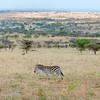 "<a target=""NEWWIN"" href=""http://en.wikipedia.org/wiki/Plains_Zebra"">Common Zebra (<i>Equus quagga</i>)</a>, <a target=""NEWWIN"" href=""http://en.wikipedia.org/wiki/Serengeti"">Serengeti</a>, Tanzania"