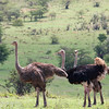 "One male and two female <a target=""NEWWIN"" href=""http://en.wikipedia.org/wiki/Ostrich"">Ostriches (<i>Struthio camelus</i>)</a>, <a target=""NEWWIN"" href=""http://en.wikipedia.org/wiki/Serengeti"">Serengeti</a>, Tanzania"