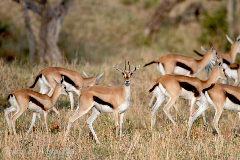 "<a target=""NEWWIN"" href=""http://en.wikipedia.org/wiki/Thomson%27s_Gazelle"">Thomsons Gazelles (<i>Eudorcas thomsoni</i>)</a>, <a target=""NEWWIN"" href=""http://en.wikipedia.org/wiki/Serengeti"">Serengeti</a>, Tanzania"